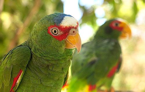 parrots aktun chen