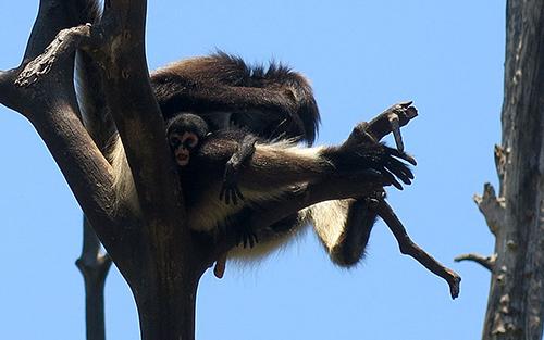 baby spider monkey aktun chen