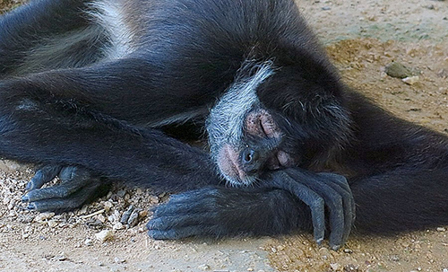 monkey aktun chen
