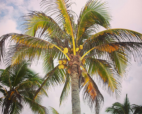 Tulum palm tree