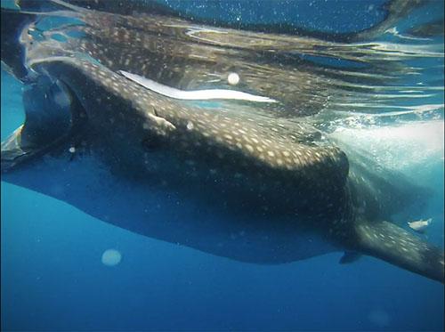 whale shark eye