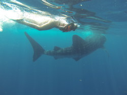 Swimming with Whale Sharks - Condo Hotels Playa del Carmen